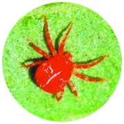 然而我外出几天发现后,培育我精心回家的菜蔬茎叶上,爬满了一种红色邵阳肠包鸭爪图片